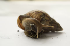 Snail slow animal closeup walk nature slime concept Stock Photography