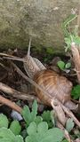Snail a slow animal Royalty Free Stock Images
