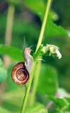 Snail in slow motion Stock Image