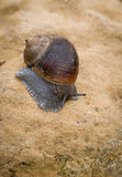 Snail, slow motion Royalty Free Stock Images