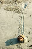 Snail Slow Pace on Sand. Slow moving snail Mollusca Gastropoda with trail on a sandy beach Stock Images