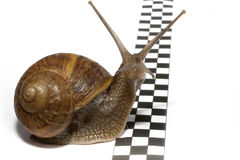 Snail. A slow snail that reaches the finish line Stock Image