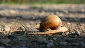 Snail slowly crawling along stock video footage