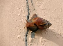 Snail slowly walking on the rose pink color wall. stock photos