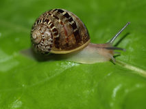 Snail slug Royalty Free Stock Image