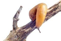 Snail slug Stock Photo