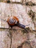 Snail. Small snail from an English garden. Terrestrial pulmonate gastropod mollusc Royalty Free Stock Image