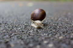Snail. A small snail moving slowly with his house Stock Photography