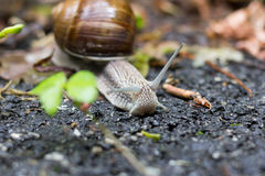 Snail. A small snail moving slowly with his house Stock Image