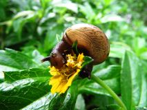 Snail, Snail Eating, Close Up Royalty Free Stock Image