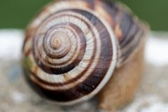 Snail and snail shell. A mollusk with a single spiral shell into which the whole body can be withdrawn Royalty Free Stock Photography