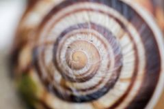 Snail and snail shell. A mollusk with a single spiral shell into which the whole body can be withdrawn Royalty Free Stock Photo