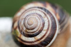 Snail and snail shell. A mollusk with a single spiral shell into which the whole body can be withdrawn Stock Photo