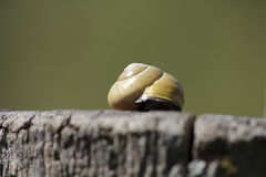 Snail with a snail shell Royalty Free Stock Image