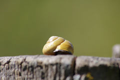 Snail with a snail shell Stock Image