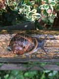 Snail, Snails And Slugs, Invertebrate, Terrestrial Animal Royalty Free Stock Images