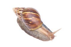 Snail. S and white background. blur. Life of s are walking slowly in rainy season Stock Images
