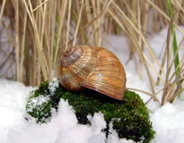 Snail in the snow Stock Photography