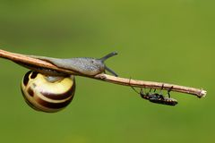 Snail and soldier beetle. A snail and a soldier beetle, isolated on a green background stock photography