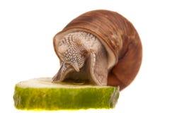 Snail som äter stycket av gurkan Arkivfoton