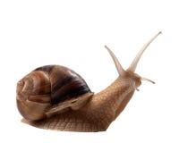 Snail som isoleras på vit bakgrund Royaltyfri Fotografi