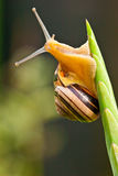 Snail som klättrar till överkanten av en växt Royaltyfri Fotografi