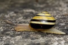 Snail. Some snails crawling by stone royalty free stock photos