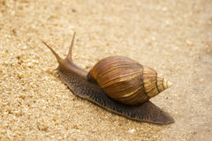Snail south Africa Royalty Free Stock Photos