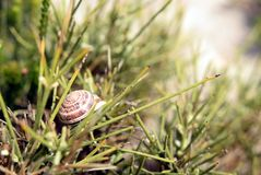 Snail on spiky bush. Close-up of the snail on the spiky beach bush Royalty Free Stock Photo