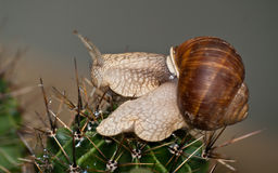 Snail on spines Stock Image