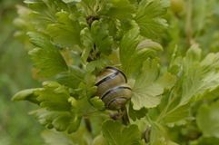 Snail with a spiral shell. On a bush gooseberry, among green leaves Royalty Free Stock Photos