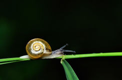 Snail on stalk. Close up of a snail crawling along a green stalk. Isolated on black Royalty Free Stock Photography