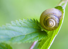 Snail on a stalk of grass. Royalty Free Stock Photos