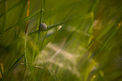 Snail on a stalk of grass. Royalty Free Stock Image