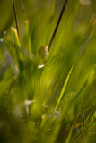 Snail on a stalk of grass. Royalty Free Stock Photography