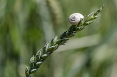 Snail on the stalk of wheat Royalty Free Stock Photos