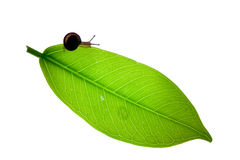 Snail stand on new born green Leaf Stock Photo