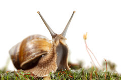 Snail stare Royalty Free Stock Photography