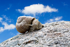Snail  on the stone Stock Images