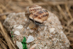 Snail on a stone. Sitting royalty free stock image