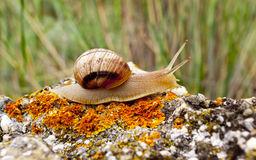 Snail on stone Royalty Free Stock Images