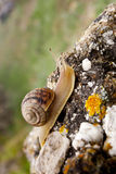 Snail on stone Stock Image