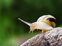 Snail on the stone. With green background stock images