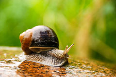 Snail on a stone. Big snail crawling on a stony surface Stock Photos