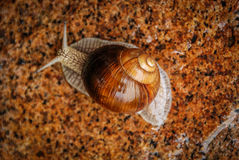 Snail on a stone. Royalty Free Stock Images