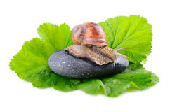 Snail on stone Royalty Free Stock Image