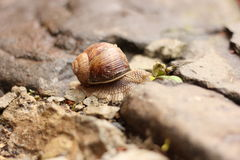 Snail on stone Royalty Free Stock Photo