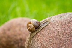 Snail on a stone Royalty Free Stock Images