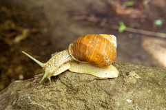 Snail on the stone Stock Image