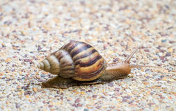 Snail on the stone floor Royalty Free Stock Photography